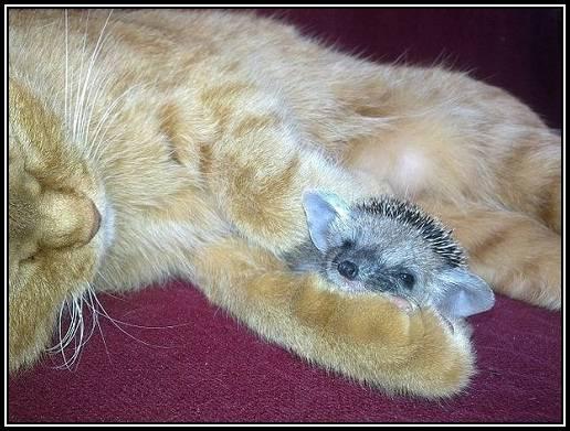 Arici lafait pe pisica
