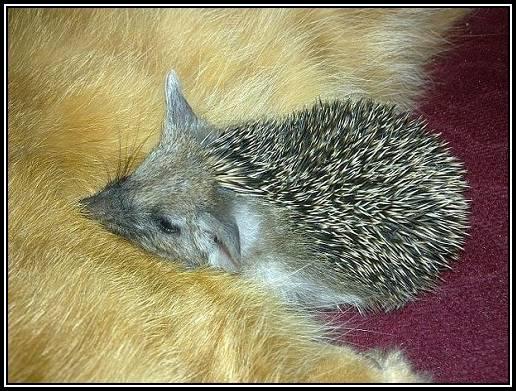 Arici dormind