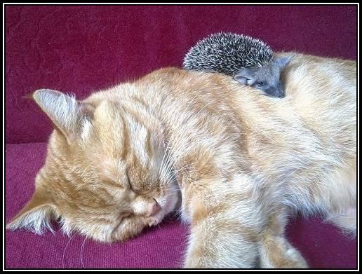 Sonja si ariciul dormind