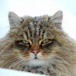Pisicile zapezii